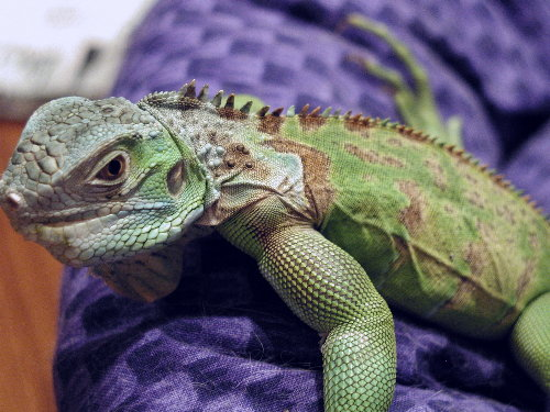MBD in young iguana